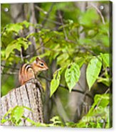 Chipmunk Shares Fence Post Acrylic Print