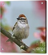 Chipping Sparrow In Blossoms Acrylic Print by Deborah Benoit