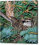 Chipping Sparrow On Nest Acrylic Print