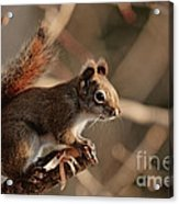 Chippy Perched Acrylic Print