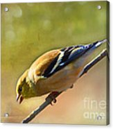 Chirping Gold Finch - Painted Effect Acrylic Print