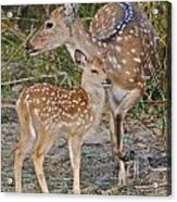 Chital Deer And Fawn Acrylic Print