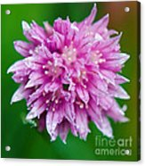 Chive Flower Acrylic Print