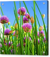Chive Flowers And Buds Acrylic Print by Jo Ann