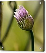 Chive In Bloom Acrylic Print