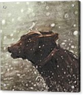 Chocolate Lab In Water Watercolor Portrait Acrylic Print