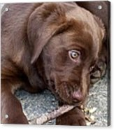Chocolate Lab Pup Acrylic Print