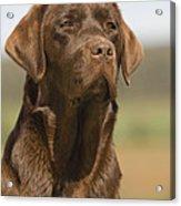 Chocolate Labrador Dog Acrylic Print