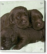 Chocolate Labrador Puppies Acrylic Print