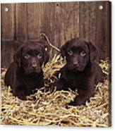 Chocolate Labrador Puppies Acrylic Print