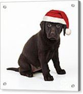 Chocolate Labrador Puppy, 6 Weeks Old Acrylic Print