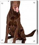 Chocolate Labrador Retriever With Tongue Out Acrylic Print