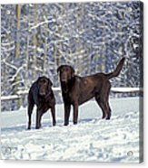 Chocolate Labrador Retrievers Acrylic Print
