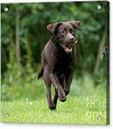 Chocolate Labrador Running Acrylic Print