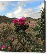 Cholla Cactus Blooming In The Sandia Foothills Acrylic Print