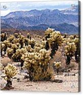 Cholla Cactus Garden Acrylic Print