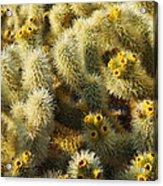 Cholla Cactus Garden Mirage Acrylic Print