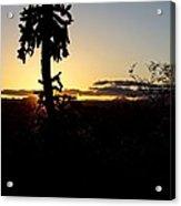 Cholla Cactus Sunset Acrylic Print