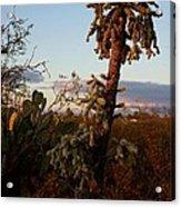 Cholla Cactus View Acrylic Print