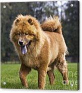 Chow Chow Dog Acrylic Print