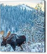 Christie Moose Acrylic Print