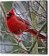 Christmas Cardinal Acrylic Print