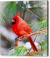 Christmas Cardinal - Male Acrylic Print