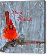 Christmas Red Cardinal Acrylic Print