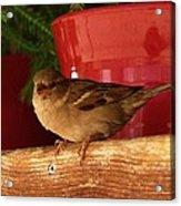Christmas Finch Acrylic Print