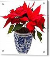 Christmas Flower  Acrylic Print