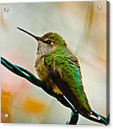 Christmas Humming Bird Acrylic Print