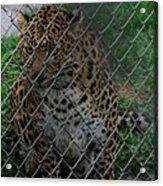 Christmas Leopard II Acrylic Print