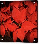 Christmas Poinsettias Acrylic Print
