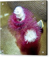 Christmas Tree Worms 2 Acrylic Print