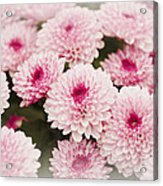 Chrysantemum Pink Acrylic Print