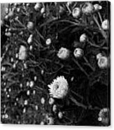 Chrysanthemes Original Acrylic Print