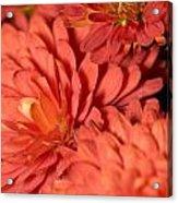 Chrysanthemum Acrylic Print