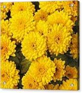 Chrysanthemum 'branhalo' Acrylic Print