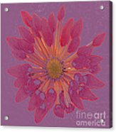 Chrysanthemum Digitally Softly Toned Acrylic Print