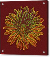 Chrysanthemum Fire Acrylic Print
