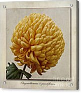 Chrysanthemum Grandiflorum Yellow Acrylic Print by John Edwards