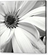 Chrysanthemum In Black And White Acrylic Print