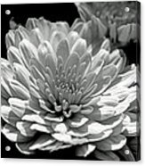 Chrysanthemum In Light And Shadow Acrylic Print