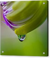 Raindrop Bud Acrylic Print