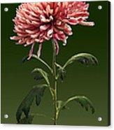 Chrysanthemum Shelbers Acrylic Print