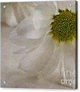 Chrysanthemum Textures Acrylic Print by John Edwards