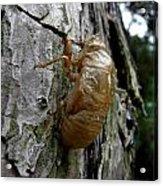 Cicada Bug Shell Nc Usa 2013 Acrylic Print