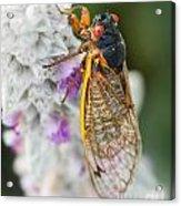 Cicada Acrylic Print