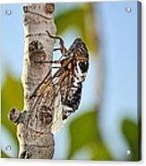 Cicada On Fig Tree Acrylic Print