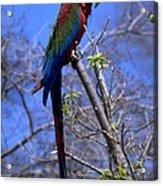 Cincy Parrot Acrylic Print